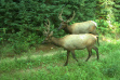game remote trail camera elk 1237.jpg