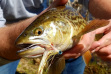 tiger_trout_picture_7