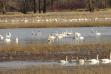 Tundra Swans on Coeur d'Alene WMA