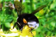 Western Bumblebee