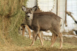 weiser_mule_deer_in_hay_stack_08.jpg