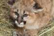 mountain_lion_kitten2_murtaugh_january_2020_