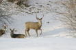 three point mule deer buck and does in snow January 2008