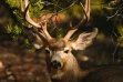 mule deer buck laying in a tree medium shot July 2005