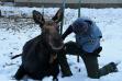 placing_a_radio_collar_on_a_cow_moose_in_hailey_dec_2020