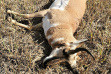 pronghorn_poached_stanley_square