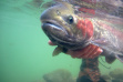 wild steelhead in the Salmon River drainage being held underwater Ron Roberts April 2011