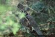 ruffed grouse in brush September 2005