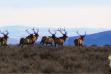 Running bull elk in sagebrush / Photo by Brett Panting for IDFG