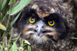 short eared owl chick head shot