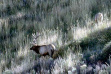 Bull Elk on Bunch Grass Hillside
