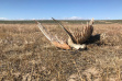 shot-curlew-on-birds-of-prey-nca-june-2018
