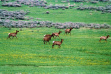 running elk in a grassy meadow with sage brush and wild flowers