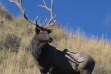 bull elk in grass and sagebrush vertical small photo