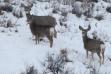 Wintering mule deer at Andrus WMA Wildlife Management Area in deep Winter snow