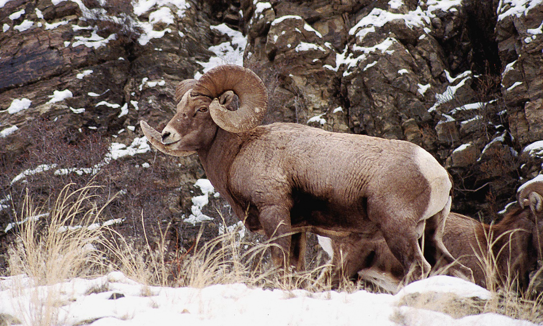 bighorn ram in rocks, grass, and snow Gary Powers