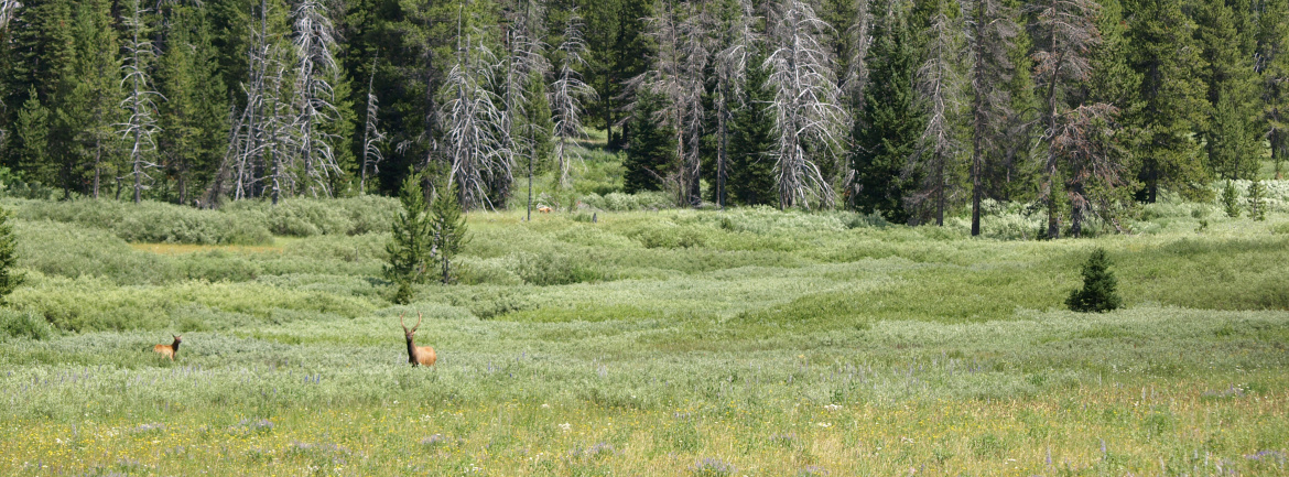 Elk in a grassy meadow with pine trees in the distance