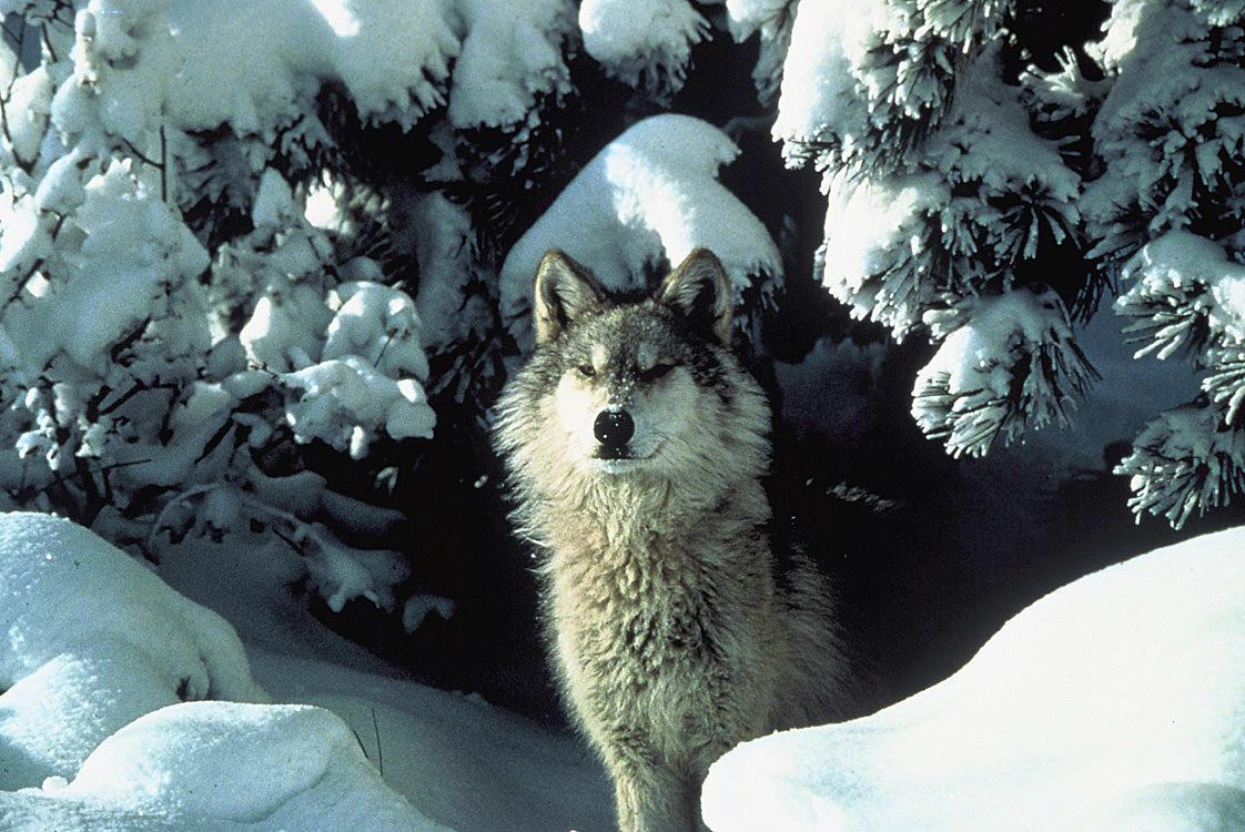 medium shot of a gray wolf in snow