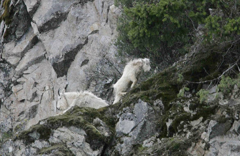 mountain goats in rocks April 2007