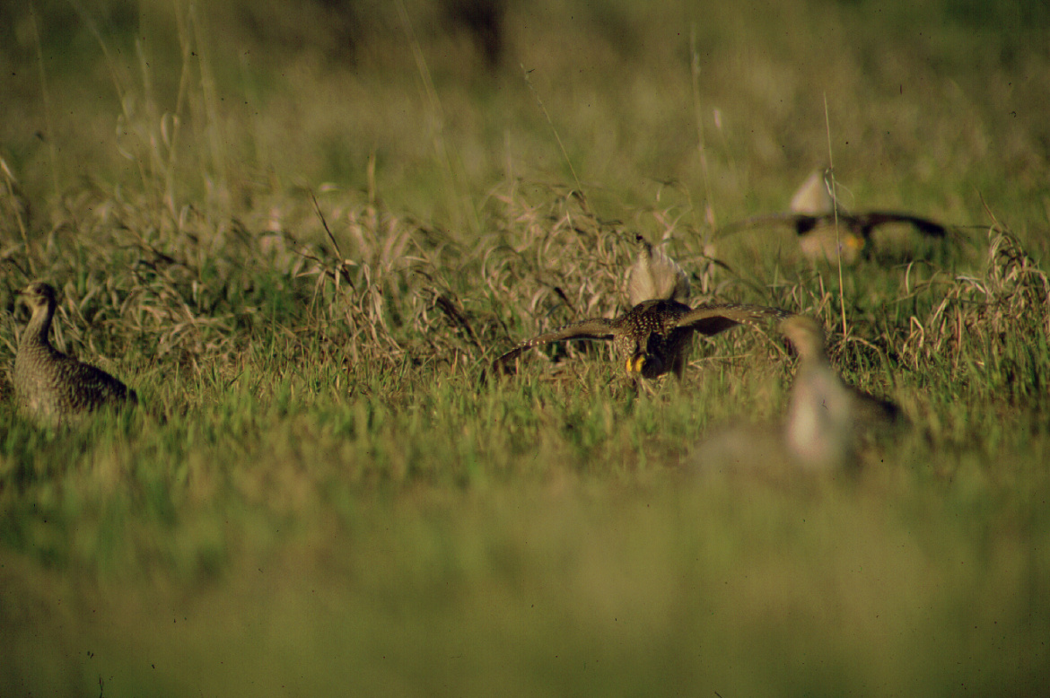 Sage grouse fly in a green field