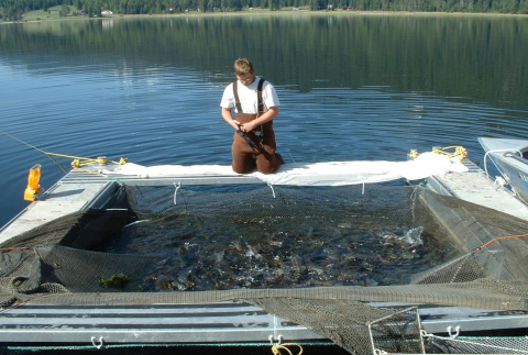 Large Fish Traps full of Northern Pikeminnow at Lake Cascade