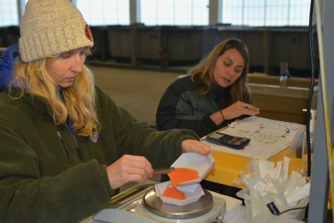 Weighing sockeye eggs. Photo IDFG by Roger Phillips