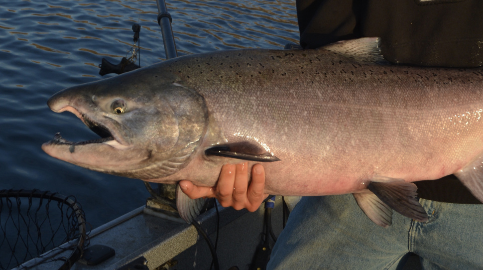 Fall chinook fishing to open september 1 idaho fish and game for Idaho ice fishing report