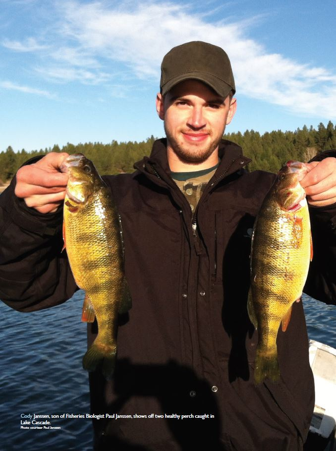 The fall and rise of yellow perch in lake cascade idaho for Fish and game idaho