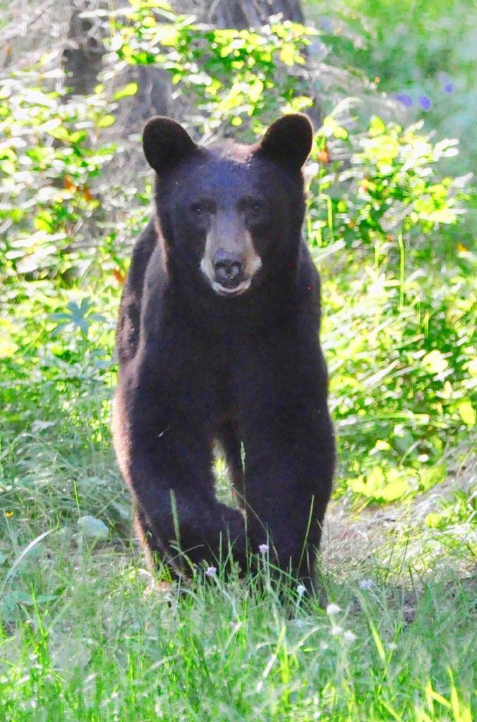 Black Bear Responsible For Entering Home Near Tetonia Euthanized | Idaho Fish and Game