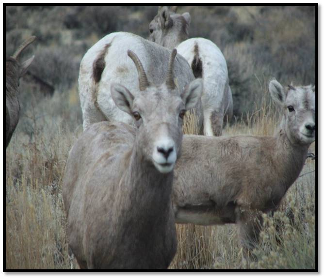 Four remnant South Hills bighorn sheep removed to prevent