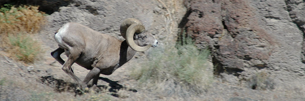 Bighorn ram running