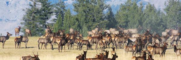 large herd of elk medium shot March 2011