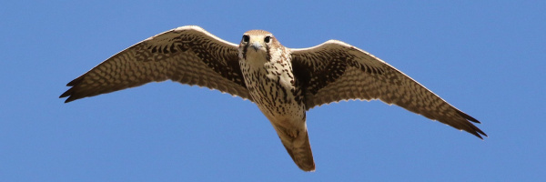 Prairie Falcon - Tom Benson Flickr