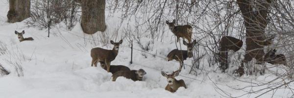 mule deer, winter, southwest region, Weiser