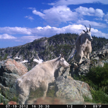 mountain  mountain goats trail cam July 2012