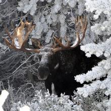 large bull moose in snow covered trees November 2011 James Deitrick