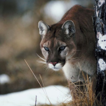 mountain lion in grass and snow