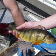 Yellow Perch tagged to estimate angler harvest