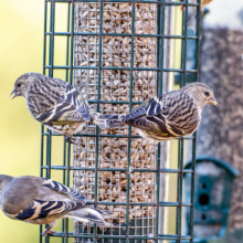 Pine Siskins on feeder
