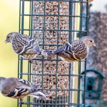 Pine Siskins on feeder