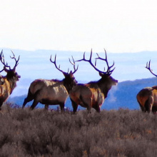 Ridgeline bull elk on the run / Photo by Brett Panting