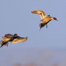 banner_flying-pintails