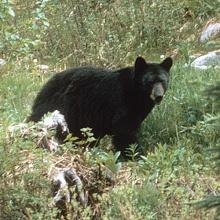 black bear walking in grass