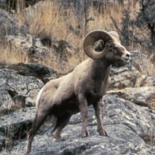 bighorn ram standing in rocks