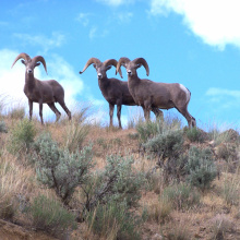 bighorn sheep on a ridge July 2004