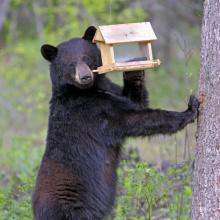 black_bear_in_bird_feeder