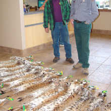 wide shot of an IDFG conservation officer and another man look over bobcat skins for a report February 2006