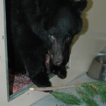 Booboo a four month old  black bear cub in recovery after having all four paws burned in the Mustang Complex fires near Salmon Idaho September 14, 2012