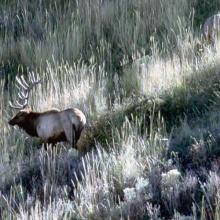 bull elk on a grassy hillside medium shot