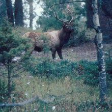bull elk by trees